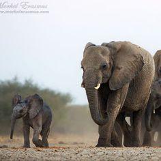 leader of the pack (by Morkel Erasmus) [elephant]