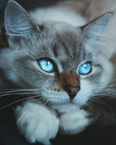Exceptional pretty cats tips are offered on our site. Take a look and you wont be sorry you did. Cute Cats And Kittens, Baby Cats, Kittens Cutest, Funny Kittens, Pretty Cats, Beautiful Cats, Beautiful Pictures, Regard Animal, Vida Animal