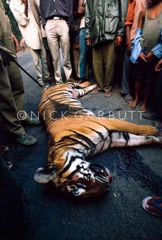 STOP KILLING TIGERS FOR SPORT!! STOP KILLING TIGERS UNNECESSARILY!!!!!!!!
