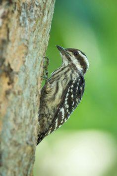 Sunda Pygmy Woodpecker #bird #nature #wildlife #woodpecker #sunda #pygmy #photography #nikon #garden
