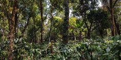 <p>Rencontre avec Abhishek, producteur de thé, café, vanille et d'autres épices.</p> Kochi, Plantation, Plants, Growing Ginger, Vanilla, Natural Farming, Tropical Forest, Planting Flowers, Dating