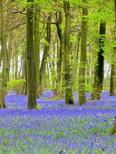 Bluebell Woods at Nuffield Place near Nettlebed, Oxfordshire