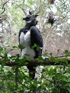 Harpy Eagle, Huge, rare, my favorite bird