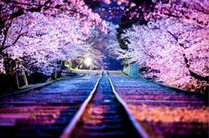 The delicate pink sakura, or cherry blossom, is associated primarily with the culture of its native Japan. These trees blossom throughout Japan every spring, but their beauty never gets old, so we'… Beautiful World, Beautiful Places, Beautiful Pictures, Beautiful Dream, Beautiful Scenery, Cherry Blossom Japan, Cherry Blossoms, Blossom Trees, Japanese Blossom
