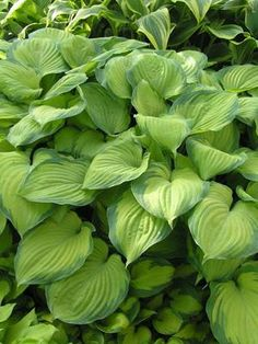 Hosta 'Guacamole'  Height:  22 Inches Spread:  38 Inches Flower Color:   Purple shades Foliage Color:  Variegated