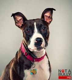 Started back in Not a Bully is a heartwarming project by photographer Douglas Sonders that aims to change the perception of rescue dogs that have Labrador Mix, Black Labrador, Terrier Dogs, Pitbull Terrier, Shelter Dogs, Rescue Dogs, Bully Dog, Bully Breed, Dogs And Puppies