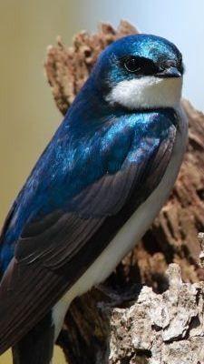 Tree Swallow Bird - by Scott Carpenter