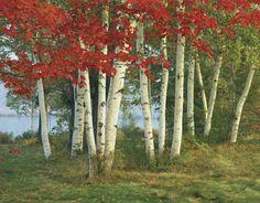 birch: autumn foliage -- Kids Encyclopedia   Children's Homework ...