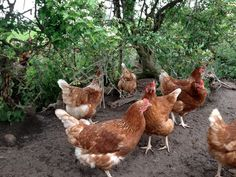 Some of our girls out enjoying foraging around in the bushes on our happy eggs farmer Patrick's farm