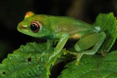 Origin: Africa. It has the characteristic transparent skin of a glassfrog, blue-colored bones, and a call that is distinct from other frogs of the same genus.