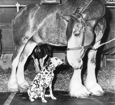 A 2,300 pound Clydesdale named Sailor looms over the dalmation mascot named Bud in a nose-to-nose backstage meeting. The hitch was on hand for The National Horse show in New York in 1960. Photo by The Associated Press