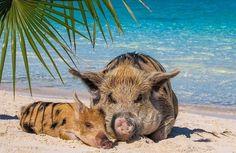 Счастливая жизнь веселых хрюшек на Багамах - Путешествуем вместе