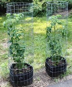 Cultivar tomates pode ser uma tarefa facílima para alguns e o oposto para outros. Teve alguns anos que eu só conseguia uma boa colheita quando eu desprezava (no sentido de desdém) os pés. Se dava muita atenção, acho que ficavam muito cheios de si e murchavam. Sério, isso ocorreu, mas hoje acho que não foi pelo meu…