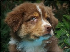 Red Tri--I want a puppy for play with Remy! Love the red tri's; tey are beautiful!