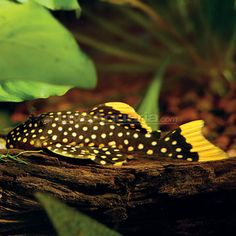 Gold Nugget Plecostomus: Tropical Fish for Freshwater Aquariums Saltwater Aquarium Fish, Freshwater Aquarium Fish, Planted Aquarium, Fish Aquariums, Pleco Fish, Plecostomus, Fish Jumps, Cool Fish, Tropical Fish