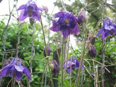 My sweet purple blue columbine!