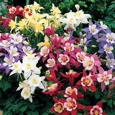 "Origami Mix Columbine Seeds, full sun-part shade, 14-16"", Spring bloomer"