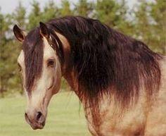 Horse / RR Ariat - Lusitano Stallion