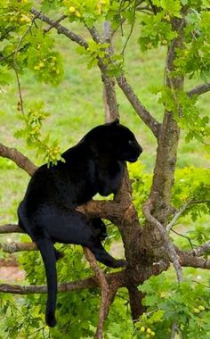 Black Panther - Can't tell if this is a black leopard or black jaguar, but since it's in a tree, I'm pinning it on my Leopards board. Nature Animals, Animals And Pets, Cute Animals, Black Animals, Wild Animals, Beautiful Cats, Animals Beautiful, Simply Beautiful, Big Cats