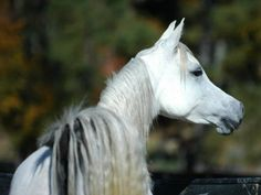 Grey Straight Egyptian Arabian Broodmare available!