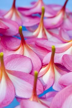 Plumeria Rainbow - Yellow with red band on front and back, rounded tip, moderate overlap, mild sweet fragrance.