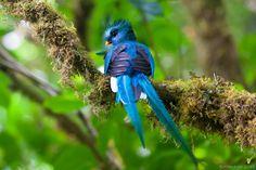Resplendent Quetzal (native to southern Mexico through to western Panama) Green Wing, Vertebrates, Blue Jay, Beautiful Birds, National Geographic, Cool Photos, Interesting Photos, Bird Feeders, Pet Birds