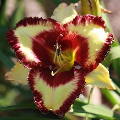 Daylily Santa Claus (Sattelmeier bloom, back of flower attractive too.