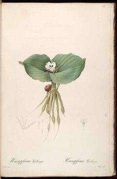 Vintage Botanical Prints, Botanical Drawings, Botanical Flowers, Botanical Art, Lilies Flowers, Plant Illustration, Botanical Illustration, Illustration Botanique Vintage, Impressions Botaniques