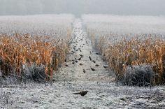 Where the pheasants live