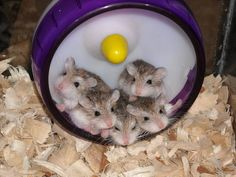 I love hamsters! I want to have five Robo Dwarf males, and I'll name them Luke, Bo, Mike, Ed and Stormy. A huge glass home with all the trimmings...