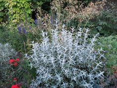 BUDDLEA SILVER ANNIVERSARY IN AMONGST GRASS STIPA GIGANTIA & OTHER PLANTS
