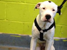 SUPER URGENT 12/8/14 Brooklyn Center   SAMMY - A1022591  ***PARVO POSITIVE - MUST LEAVE BY 6PM TODAY- 12/8/14***  MALE, WHITE / BLACK, AM PIT BULL TER MIX, 6 mos STRAY - STRAY WAIT, NO HOLD Reason STRAY  Intake condition EXAM REQ Intake Date 12/07/2014, From NY 11207, DueOut Date 12/10/2014,  https://www.facebook.com/Urgentdeathrowdogs/photos/a.617942388218644.1073741870.152876678058553/918163234863223/?type=3&theater