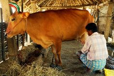 Milking the Holy Cow... - Madurai, Tamil Nadu