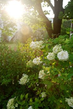 Hydrangea paniculata 'Limelight' soaking up the setting sun by the fence. The panicle hydrangeas are preferable to the florist mophead varieties in colder climates (zone 5 or colder) as the former produces their flowers on new growth every year. If you have been disappointed by the lack of flowers on your hydrangea bush, Hydrangea paniculata 'Limelight' is well worth a try! ~WMG blog