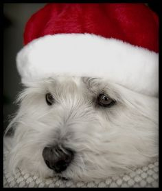 My little Westie girl Frisbee can't wait until Christmas is here cause she know's Santa Dog is coming! Westie