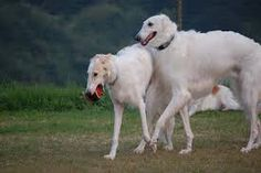 Google Image Result for http://upload.wikimedia.org/wikipedia/commons/2/24/Three_Borzoi.jpg