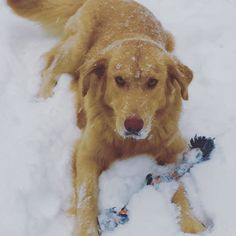 Presto Fragner is a beautiful Southern good ole boy rescued from Mississippi after someone shot him in the neck. Presto loves tennis balls, skunks, swimming, cats, cars, kids and being off leash! A gorgeous golden retriever mix with golden eyes- this boy is pure love and the most loyal friend you could have! This was Presto's first SNOW!!!