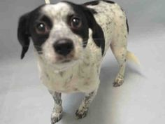 Urgent Brooklyn - NEIL - #A1092991 - MALE WHITE BLACK BEAGLE MIX, 6 Yrs - STRAY - EVALUATE, HOLD FOR ID Reason OWNER SICK - Intake 10/10/16 due Out 1013/16