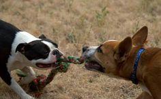 #Stites #Idaho #Photograph #Photographer #Photography #Photos #Art #play #rope #dogs #pet #cute #Boston #Terrier #Heinz57 #animals #animal