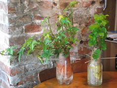 Growing sweet potato vines in a jar! They will eventually grow into a large, beautiful vine that you can plant in your garden ... for directions on how to grow these, please visit: @houseplantsforyou.com or @http://www.ehow.com/how_2073296_grow-ornamental-sweet-potato-vine.html