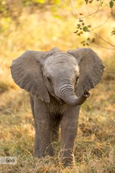 A young elephant, approachable and cute.  Taken at Mashatu, Botswana.