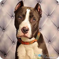 Edina MN - American Pit Bull Terrier Mix. Meet Chevy D141103 a dog for adoption.