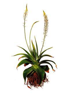 Clinton Friedman Botanical Prints by Leizel Williams Vintage Botanical Prints, Botanical Drawings, Botanical Art, Botanical Illustration, Cactus, Plant Projects, Cool Typography, Vintage Flowers, Pretty Pictures