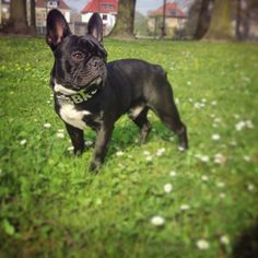 Handsome French Bulldog.