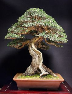 Olive Tree ~ Bonsai with deadwood. Indoor Bonsai, Bonsai Plants, Bonsai Garden, Succulents Garden, Air Plants, Cactus Plants, Garden Plants, House Plants, Ikebana
