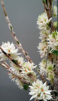 Dendrobium bracteosum 'Dynasty' (Papua New Guinea)