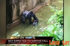 A 17-year-old, 400-pound male lowland gorilla, Harambe, was shot and killed by the zoo's dangerous animal response team about 10 minutes after the boy made it into the enclosure.Zoo director Thayne Maynard said that the boy crawled through the railing and fell into the moat just before 4 p.m. Saturday. A Cincinnati fire department incident report says that the gorilla