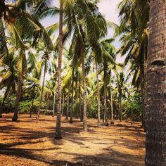 A coconut palm tree or two in senggigi ! #upsticksngo #travelphotos #palmtree #lombok #indonesia #travellingtheworld #trees #naturephoto   Flickr - Photo Sharing!
