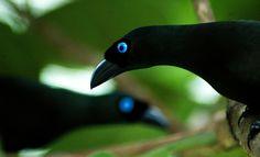 Black Racket-tailed Treepie