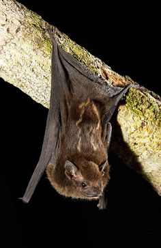 Greater White-lined Bat, Saccopteryx bilineata, Brazil